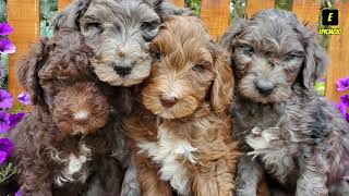 Top 10 Cutest Doodle Dogs Including  Goldendoo