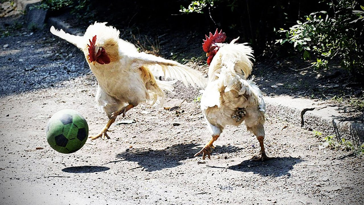 Funny Chicken E Ultimate Funny Chicken Compilation Hd Funny Pets You