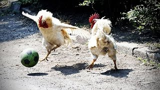 Funny Chicken ★ ULTIMATE Funny CHICKEN Compilation (HD) [Funny Pets] thumbnail