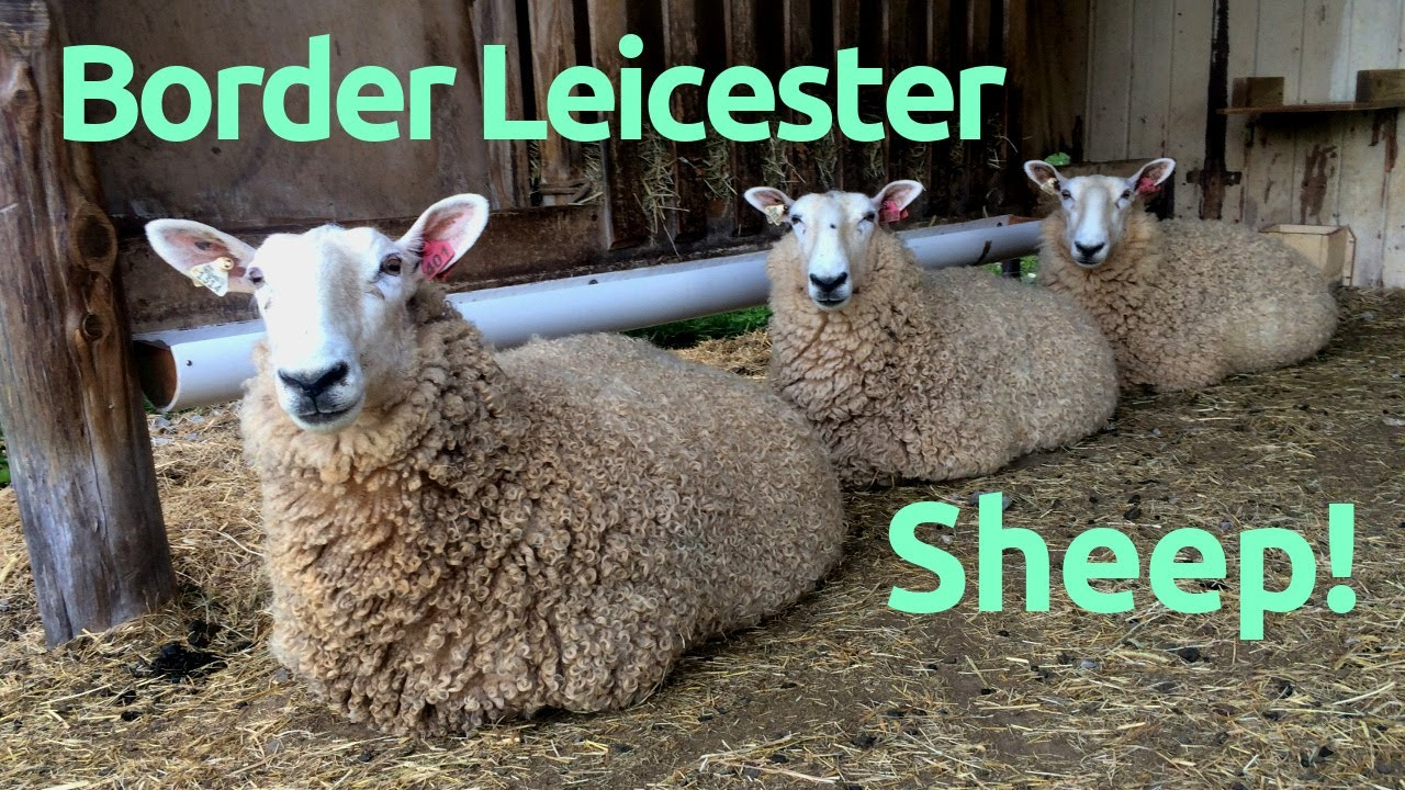 Download Best Sheep for Homesteading: Border Leicesters?