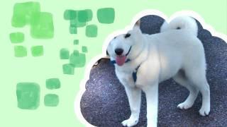 北海道犬ゆきちゃん4ヶ月です!夏暑かったの・・少しやせちゃいました・...