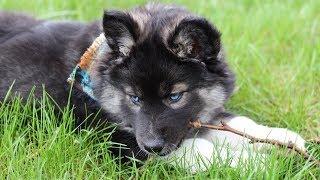 We got a Puppy! Rare Agouti Siberian Husky