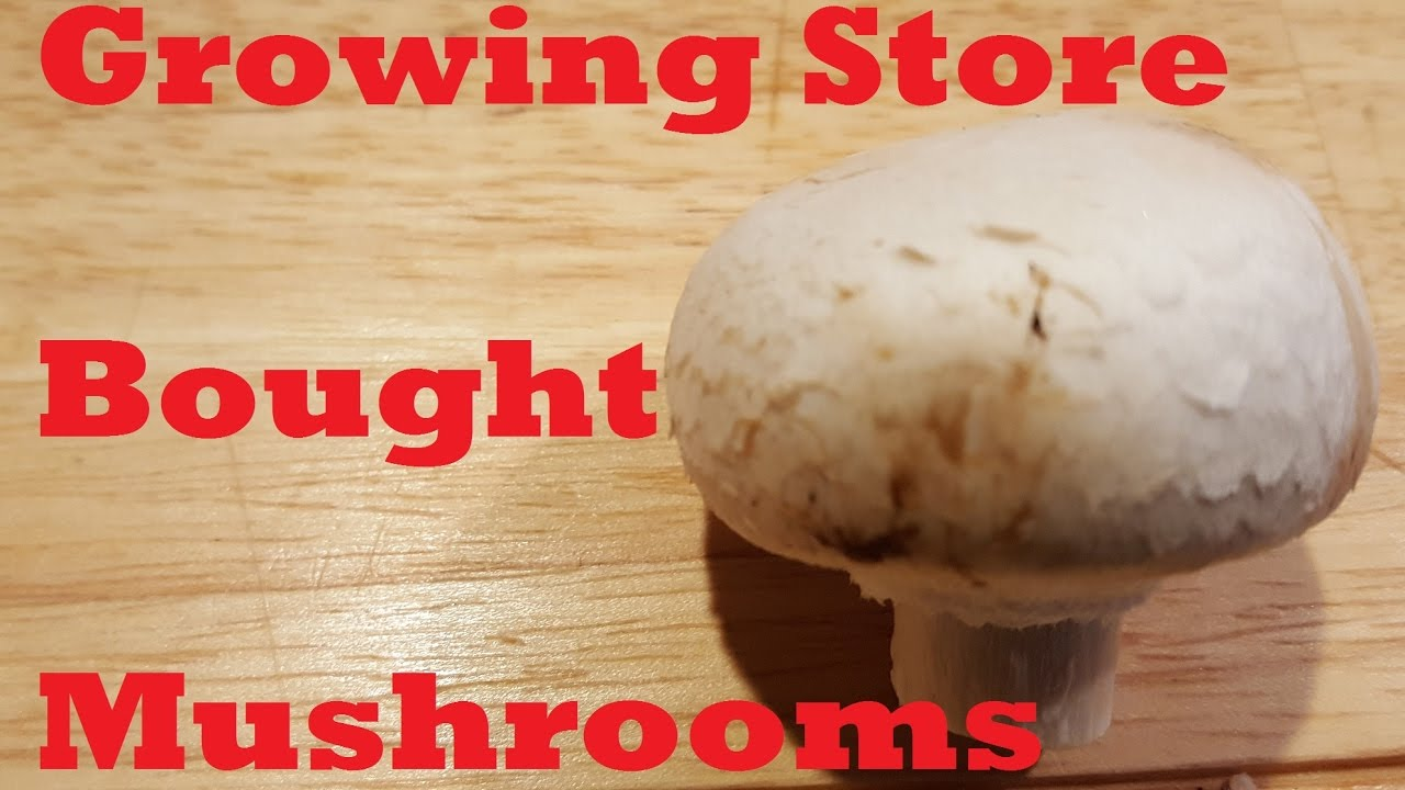 Growing Store Bought Mushrooms - YouTube