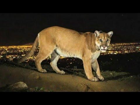 6b397bf2d2820 Conozca al puma que vive en las colinas de Los Ángeles