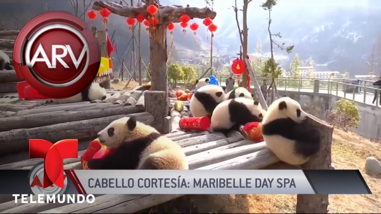 el-tierno-video-de-los-osos-panda-jugando-con-peluches-al-rojo-vivo-telemundo