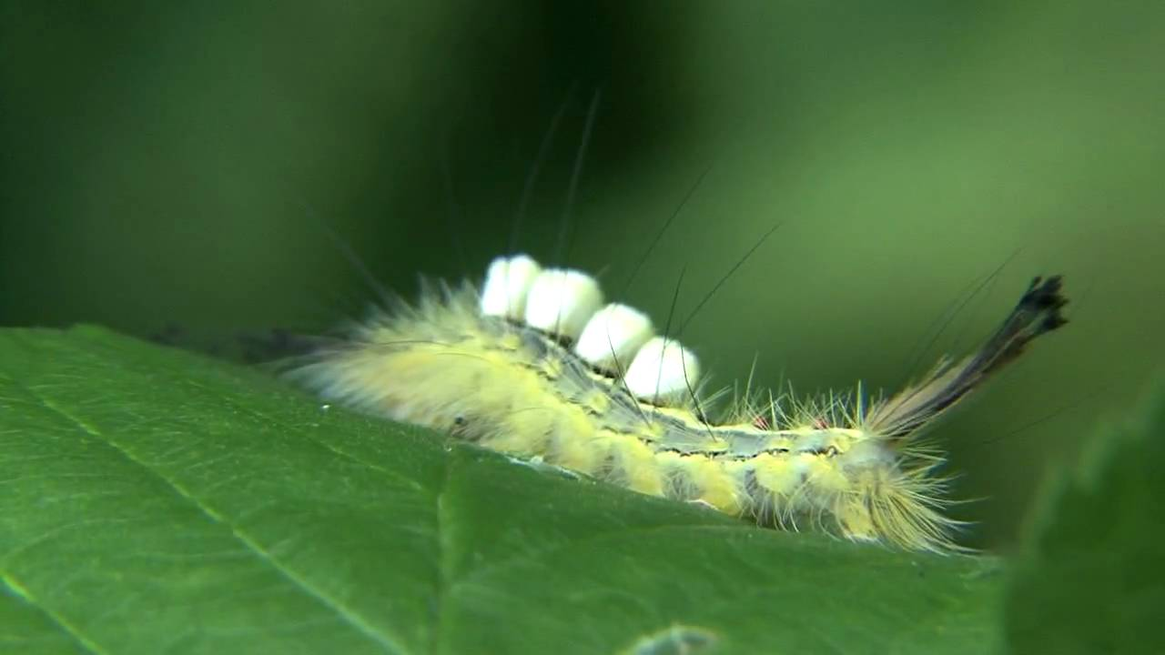 tussock moth caterpillars nature walks with mark fraser youtube