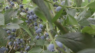 OSU Master Gardeners: Blueberry Cultivars and Planting Tips