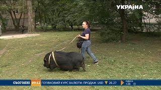 У міській квартирі столиці живе свиня