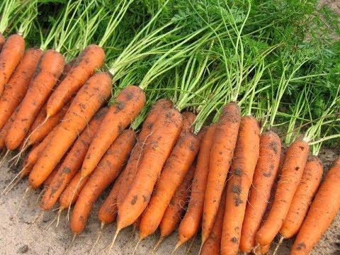 Двойная защита от морковной мухи! Что нужно моркови для хорошего урожая?