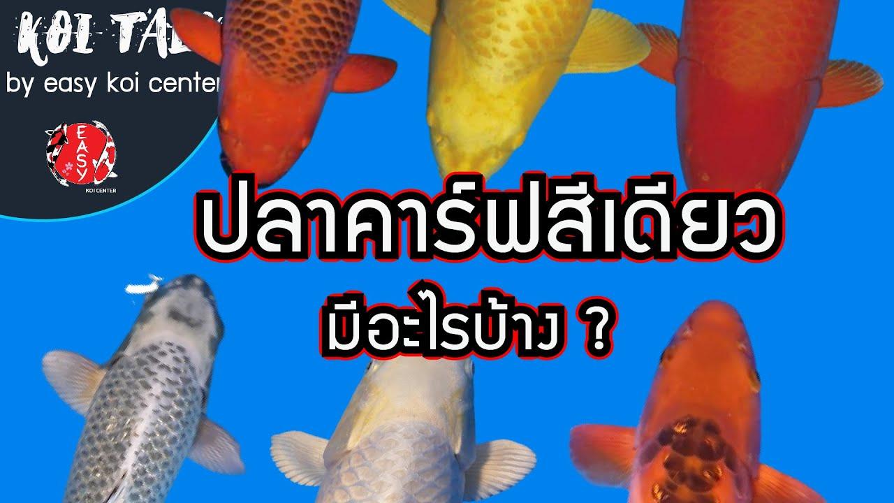 Koi Talk EP.24 ปลาคาร์ฟสีเดียวมีอะไรบ้าง แล้วทำไมต้องมีติดบ่อไว้ซักตัว