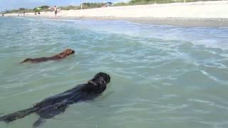 Cavalier King Charles Spaniels Swimming In The Ocean