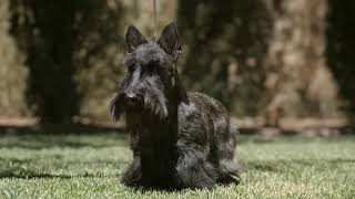 Scottish Terrier Puppies (Explained by Foxcreek | Scottish Terrier Breeders)