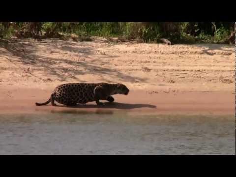 Amazing Jaguar kill Brazil 2012 Full HD1080p (Original)