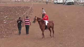 الحصان العربي الأصيل البطل بريق عبيان ابن الفحل بريق الآمال والأم عبيان بنت الفحل المجالي