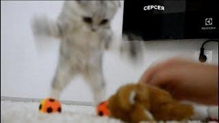Смешной вислоухий котёнок Серсея Ланистер играется