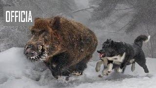 Охота на кабана с Лайками!Рыбалка и Охота видео 2017 HD  медведь напал на человека видео