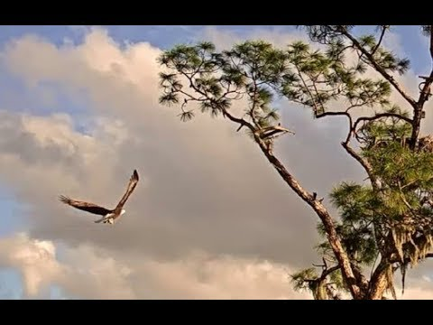 SWFL Eagles ~ Mom On A MISSION! AMAZING! Harriet Catches A Fish In Pond & Serves To E14 🐟 12.28.19