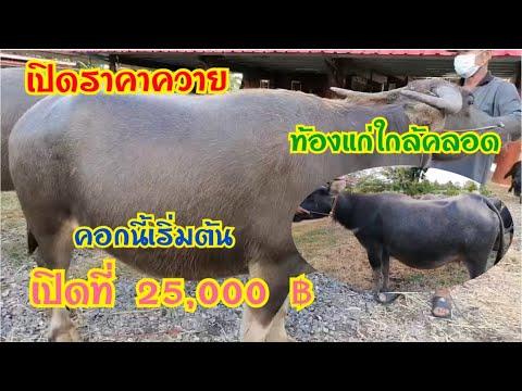 เปิดราคาควาย ท้องแก่ใกล้คลอด ราคาเกษตรกร พ่อสมควร ☎️ 097-2733947 อ.ชุมแพ จ.ขอนแก่น
