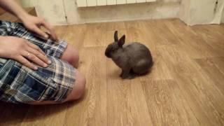 Дрессировка домашнего карликового кролика