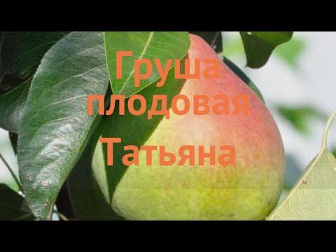 Груша плодовая Татьяна (pyrus communis) �� груша Татьяна обзор: как сажать саженцы груши Татьяна