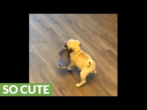 Newborn puppy picks up shoe - adorably struggles to carry it