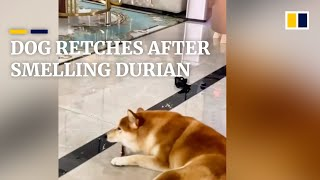 Dog retches while the owner enjoys durian in China