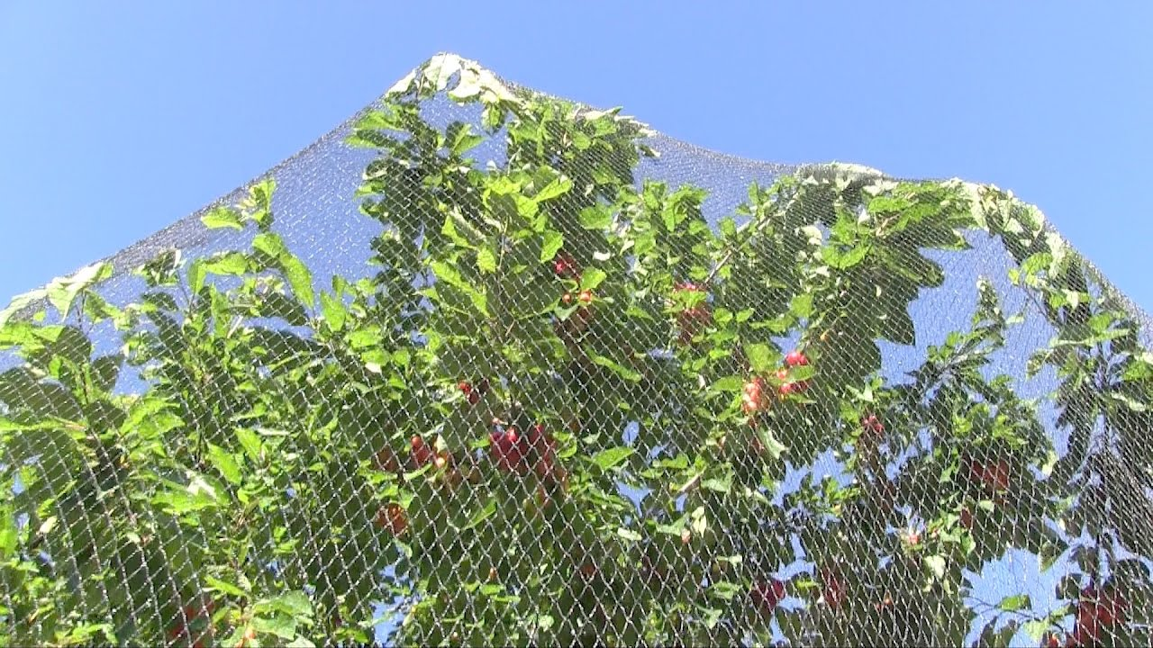 Quick Review Of Wilson S Anti Bird Netting Protecting Fruit Trees