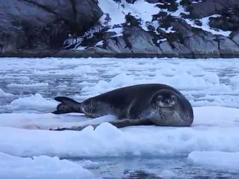 Cute leopard seal as he wakes up, Cordillera Darwin, Chile, Patagonia.