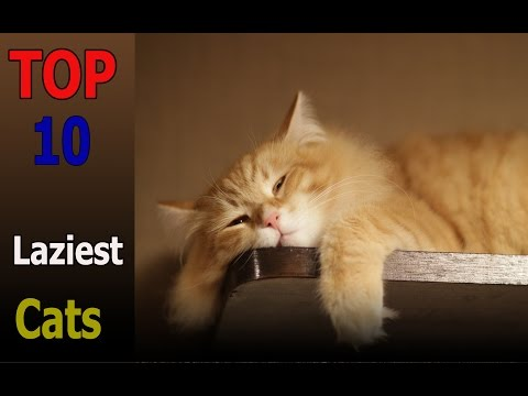 Top 10 laziest cat breeds | Top 10 animals