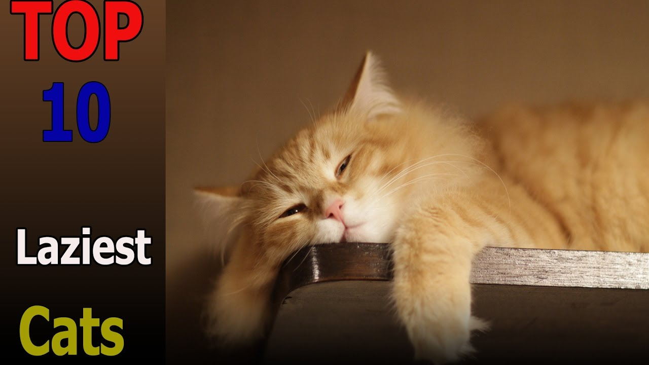 Top Laziest Cat Breeds
