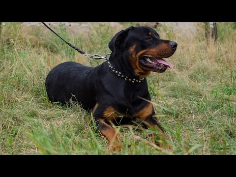 Decorated dog collar with braided leash - perfect duo for Rottweiler walking