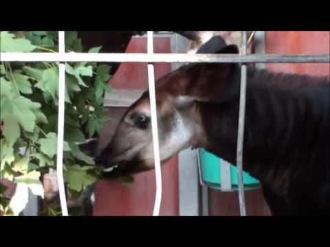 Zoo Stuttgart Wilhelma Okapis Epena Vitu Ibina Nyota Youtube