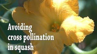 Seed saving: Avoiding cr๐ss pollination in squash