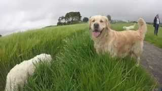 Fife Golden Retriever Walk, Loch Leven 2015