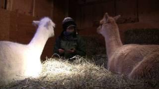 Barn Goddess Teaches Alpaca Manners