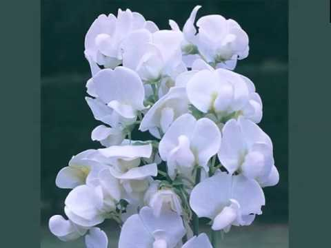 White lathyrus collection of white folwer pics phula youtube white lathyrus collection of white folwer pics phula mightylinksfo