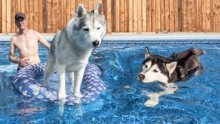 Husky Swims In the NEW Giant Pool For the FIRST Time