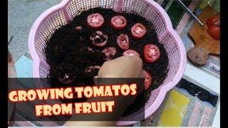 # TIS # CARA CEPAT TANAM TOMAT DR BUAH SEGAR;SEMAI;METAN;RAWAT|Plant&Grow Tomatoes from Tomatoes