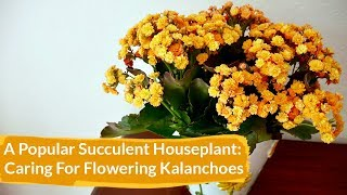 How to Care for Flowering Kalanchoes Indoors / Joy Us Garden
