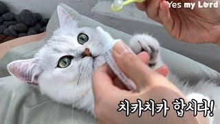 고양이 양치질 이렇게 해요. [치약 칫솔 추천, 광고x…