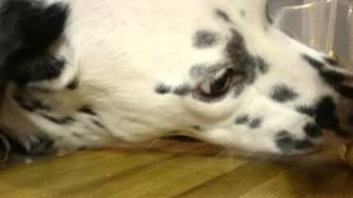 Dog stealing butter