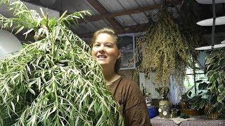 Most Wonderful Time  Of the Year  Harvesting Mugwort