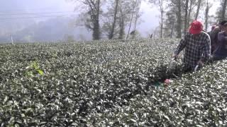 征服阿里山系列九 Conquered Taiwan Alishan tea plantation (altitude 1,200~1,400 m) 中耕機