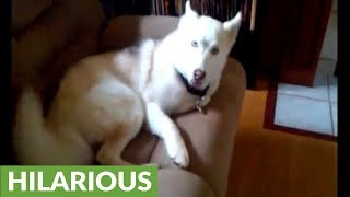 "Husky told to go in kennel, repeatedly says ""NO"""