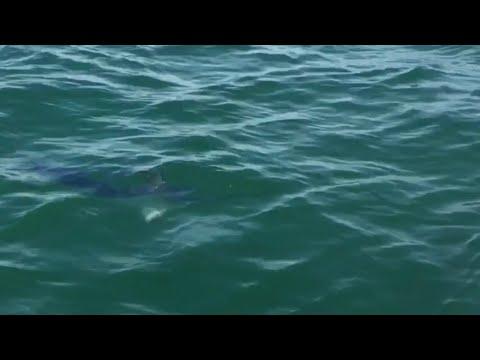 Swordfish In UK Waters