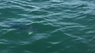 Footage of a Swordfish seen just one mile from shore near Selsey, W...