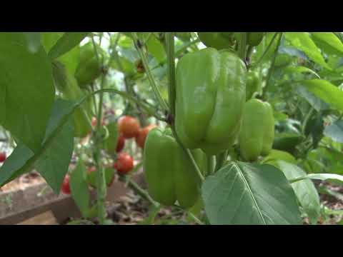 Теплица. Огурцы, помидоры и перцы