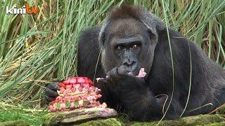 Gorilla gorges on gourmet birthday cake at London Zoo