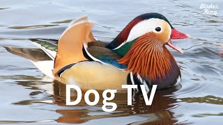 Dog TV: 7 Hours of Mandarin Ducks, Wood Ducks  Beautiful Water Birds for Dogs to Watch, Relax Pets.