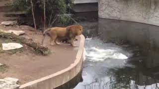 Funny Lion Falls Into The Water
